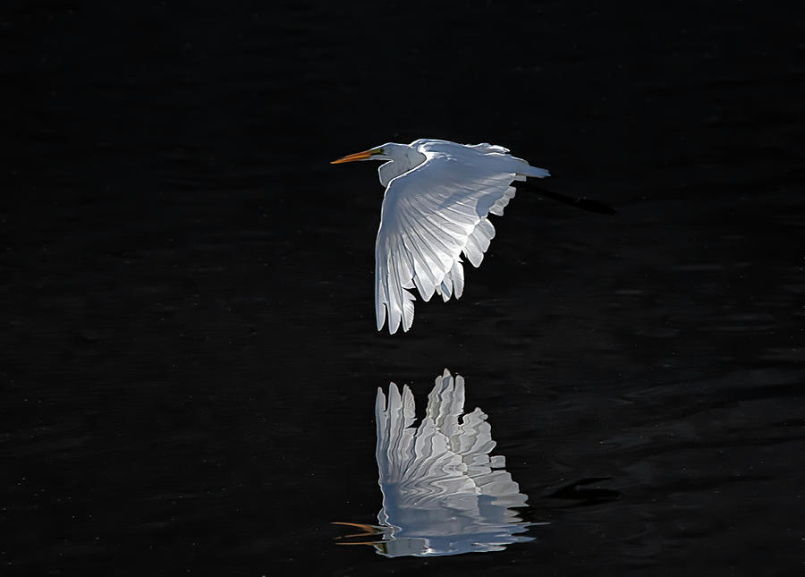 Great White Egret in flight by Rick Mosher