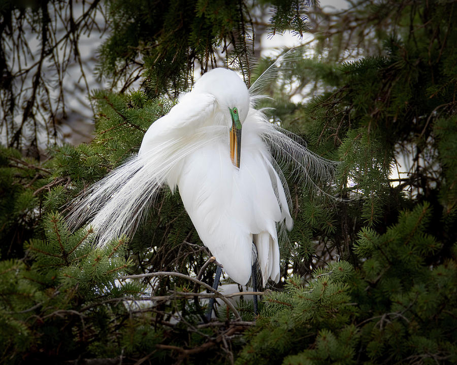 Great White Egret Plumage #3 by Patti Deters