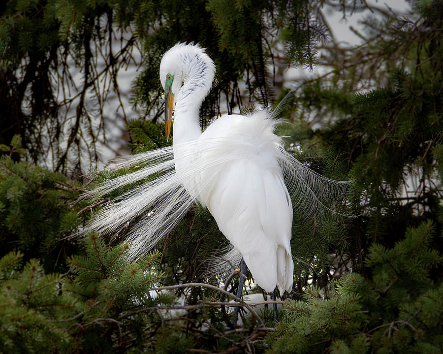 Great White Egret Plumage #4 by Patti Deters