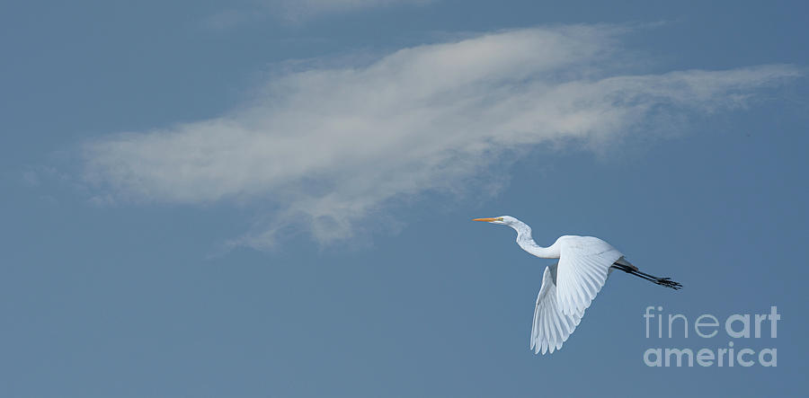 Great White Heron Flying High - Lowcountry Currents Photograph