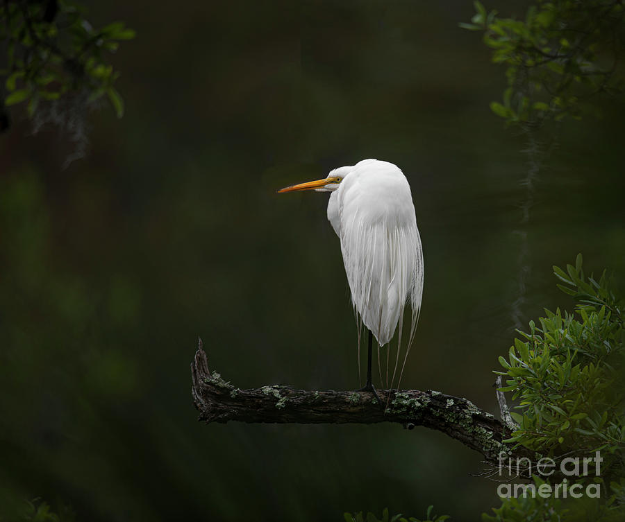 Great White Heron - Perched On Tree Limb - Over The Marsh Photograph