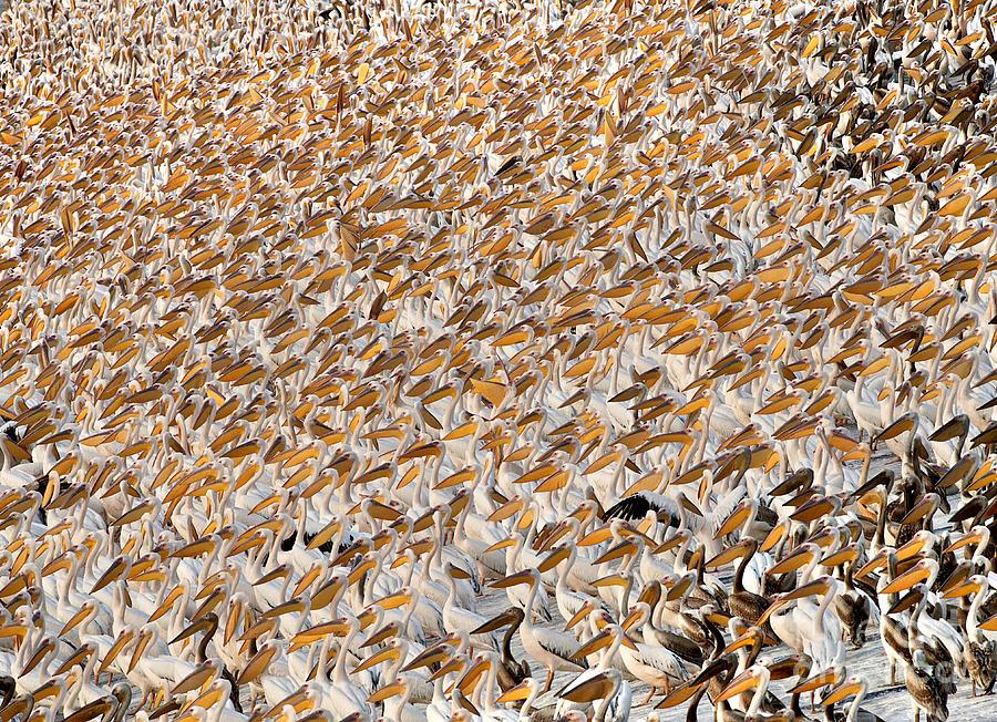 Great White Pelican Flock by Yossi Eshbol