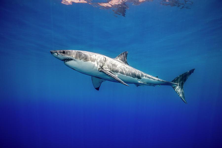 Great White Shark Photograph