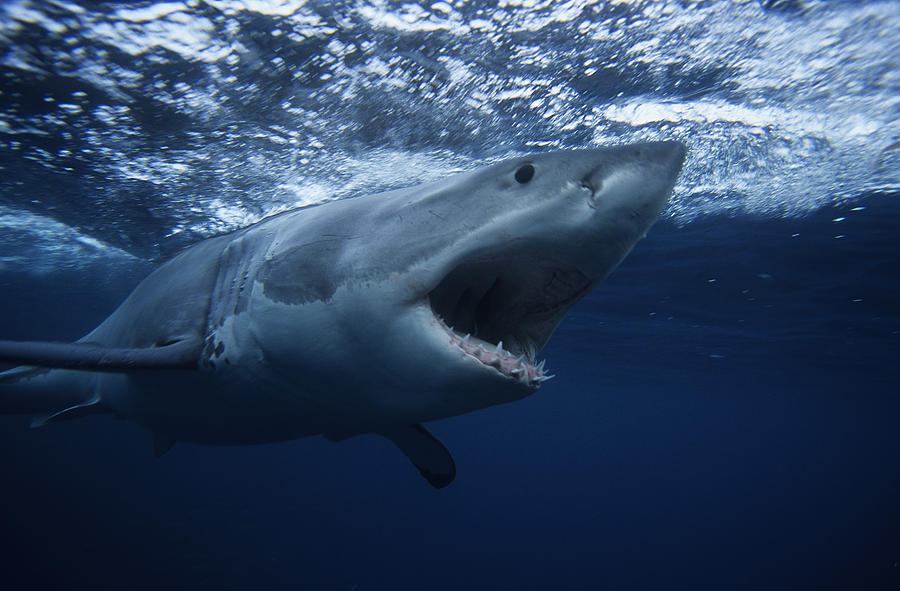 Great White Shark,carcharodon Carcharias, Swimming, South Australia Photograph by Gerard Soury