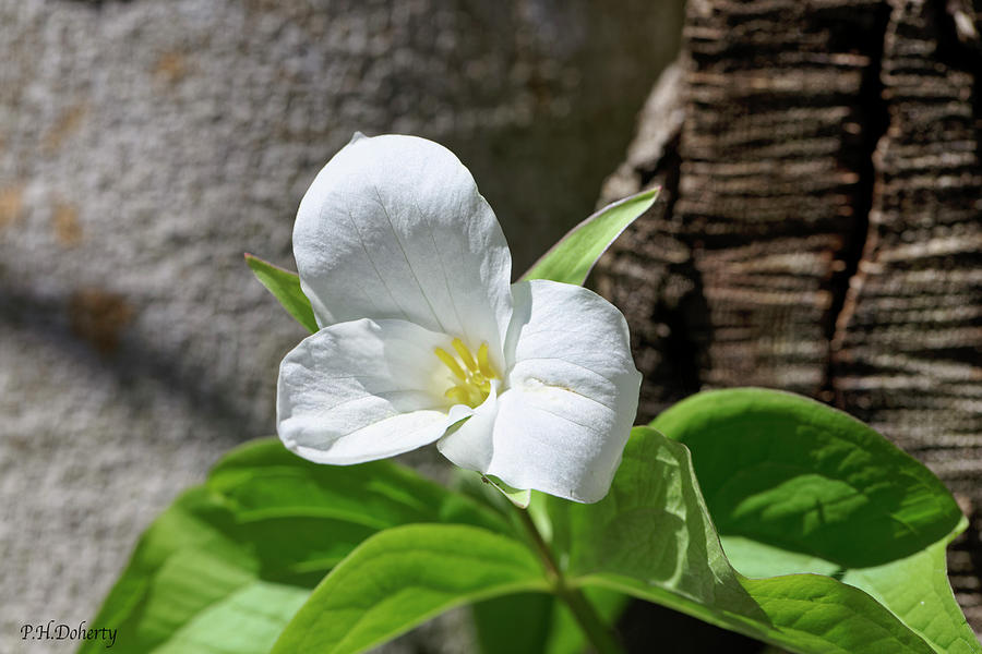 Great White Trillium Photograph