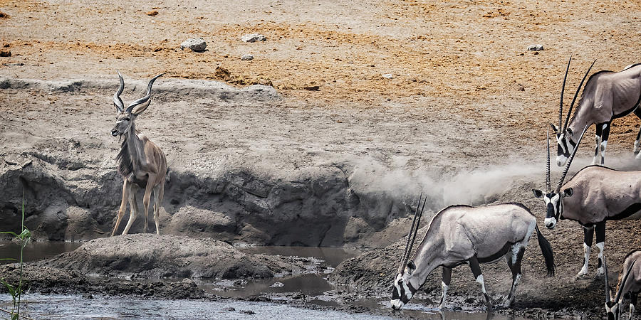 Greater Kudu Boxed in by an Oryx by Belinda Greb