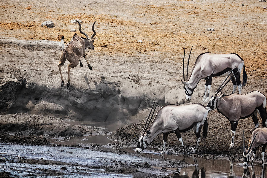 Greater Kudu Escapes from the Oryx by Belinda Greb