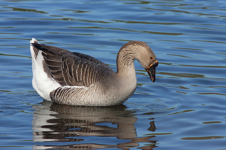 Greater White-fronted Goose Photograph