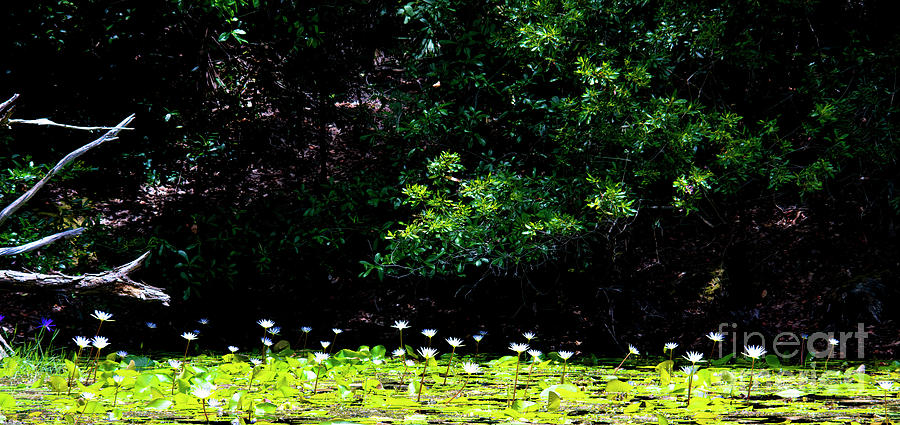 Green And White Photograph - Green And White, Field Of Water Lilies by Felix Lai
