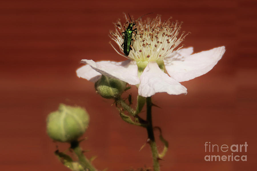 Green Beetle On A Rose Photograph
