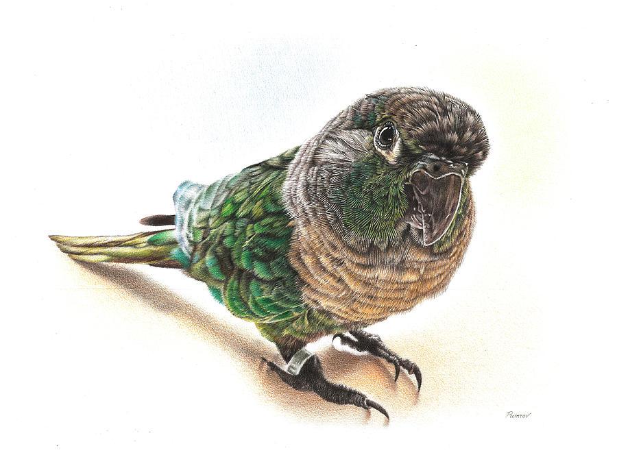 Green Cheek Conure Drawing