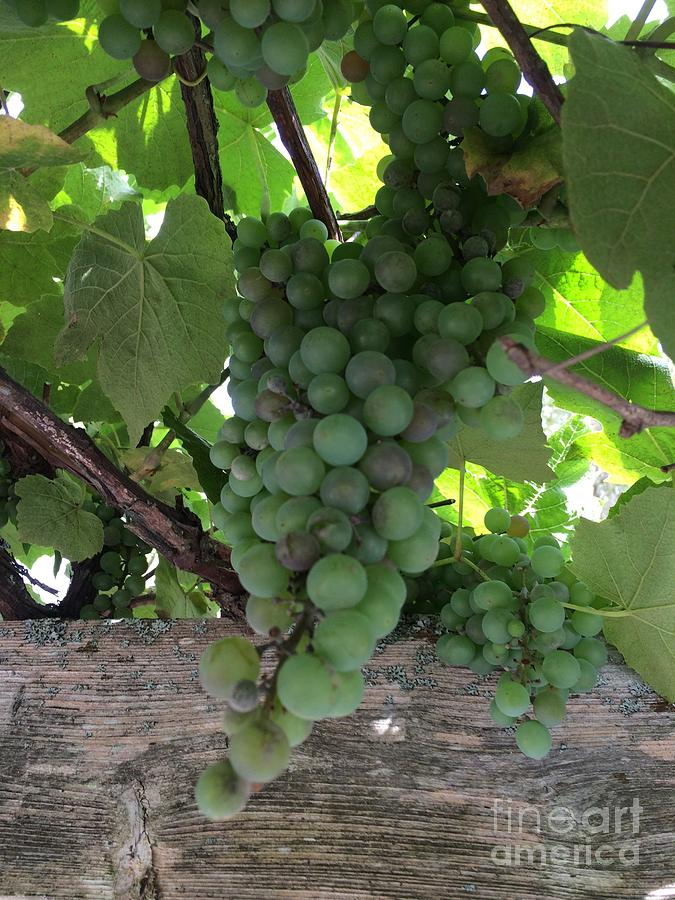 Green Grapes Photograph - Green Grapes by Mary Mikawoz