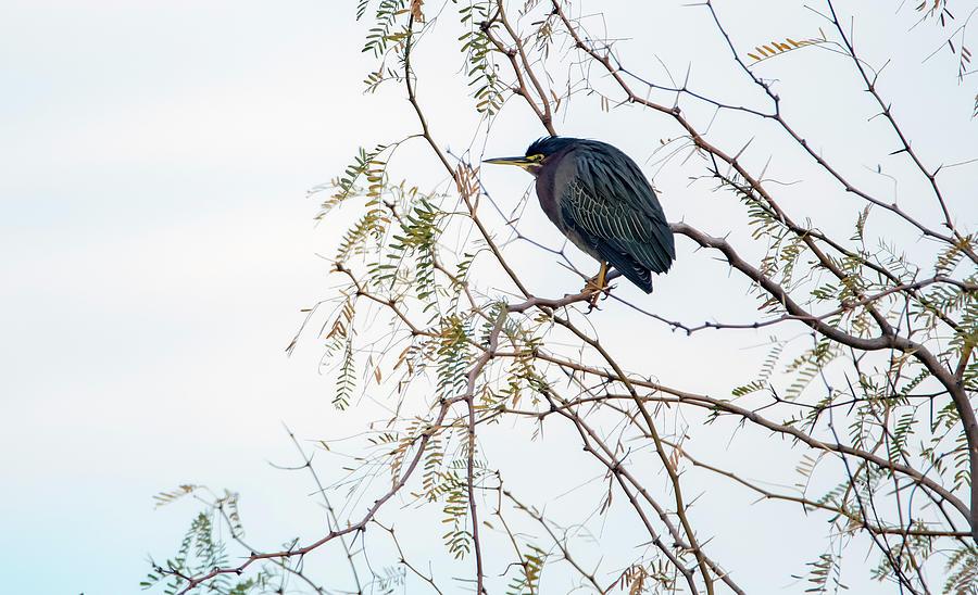 Green Heron 5383-012020-2 by Tam Ryan