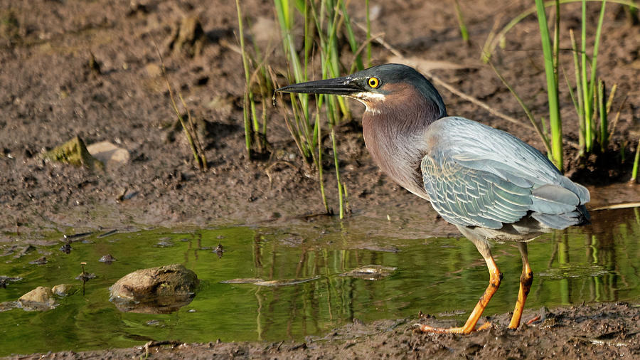 Green Heron Fishing Photograph