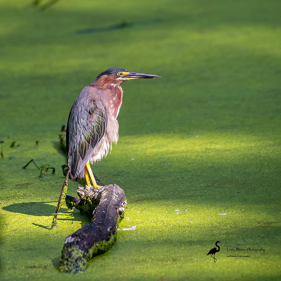 Green Heron in Swamp Photograph by Larry Maras
