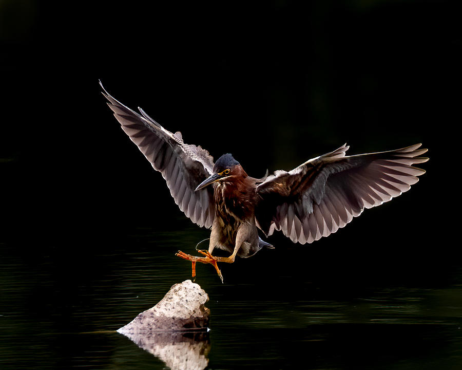 Green Heron Landing Photograph by Larry Maras