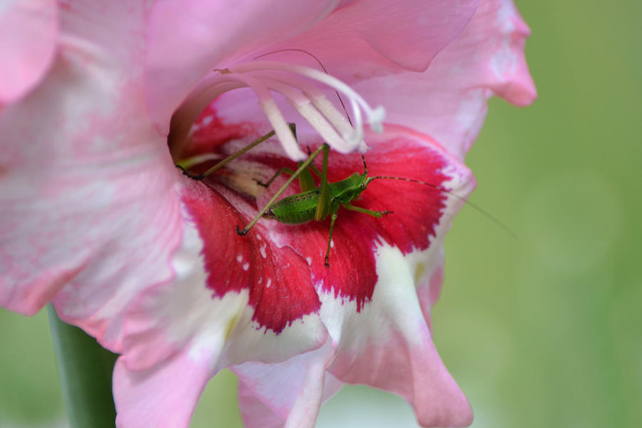 Green Katydid Insect On Pink Gladiolus Flower Petal Photograph