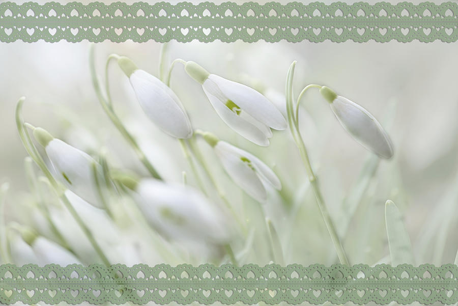 Snowdrop Drawing - Green Lace Snowdrops by Mary J Winters-Meyer