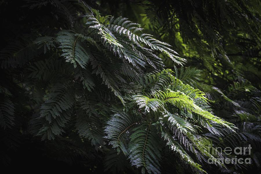 Green Leaves Of Jacaranda Tree Photograph By Visual Motiv