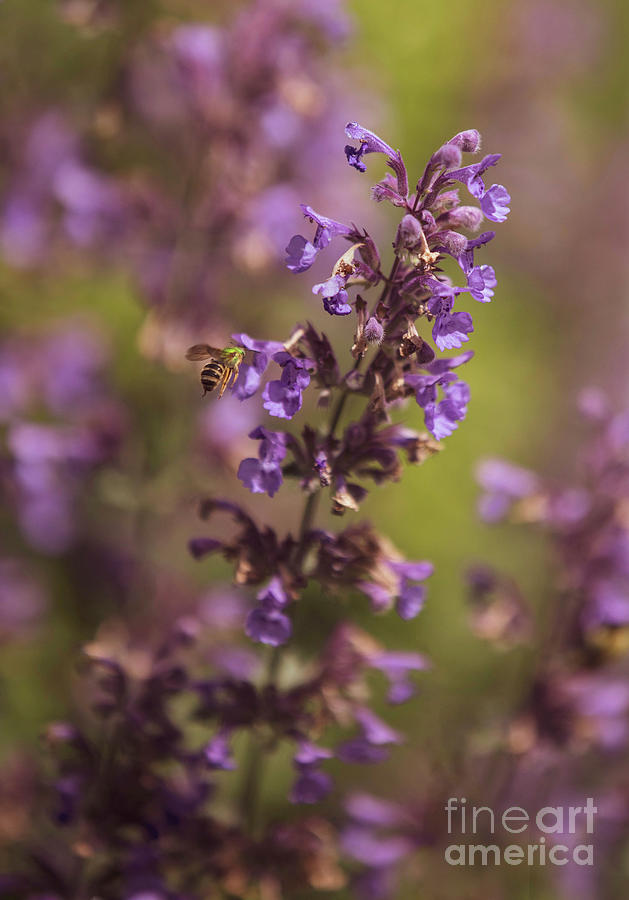 Bee Photograph - Green Sweat Bee on a Catmint Flower by Diane Diederich