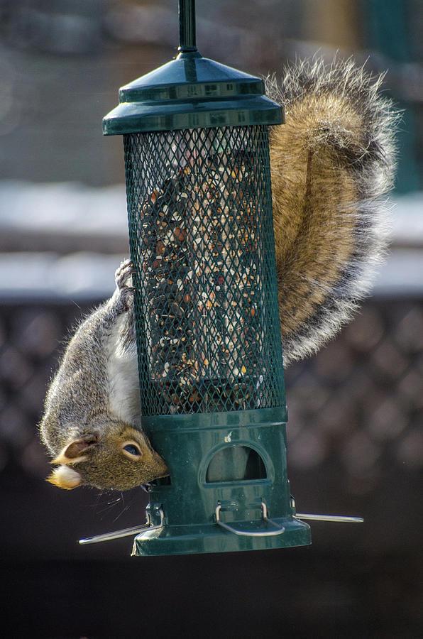Grey squirrel on a squirrel-proof bird feeder. by Rob Huntley