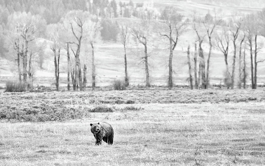 Grizzly and Cottonwoods by Max Waugh