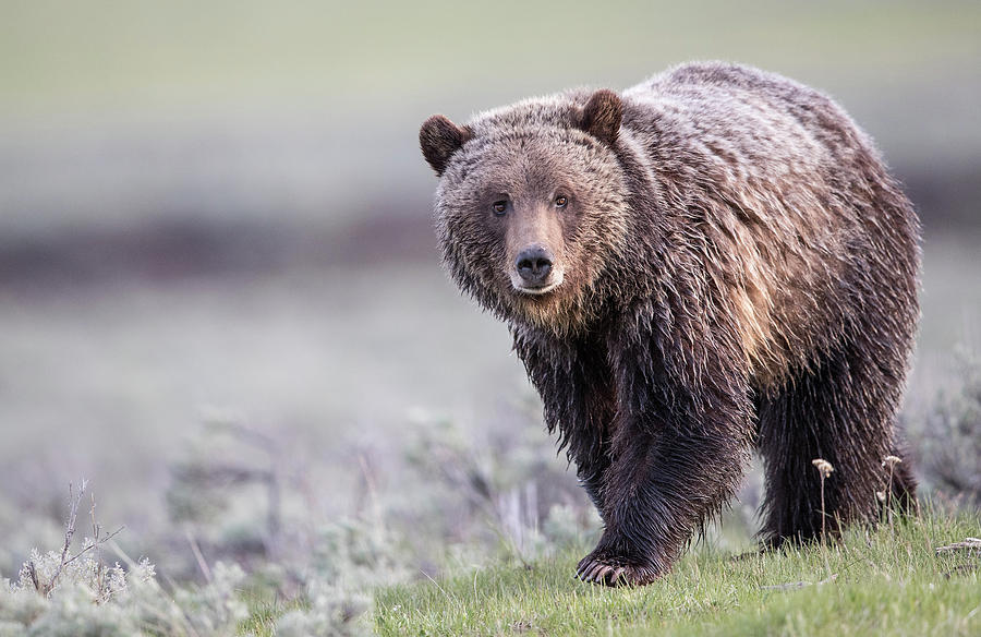 Grizzly Bear Approach by Max Waugh
