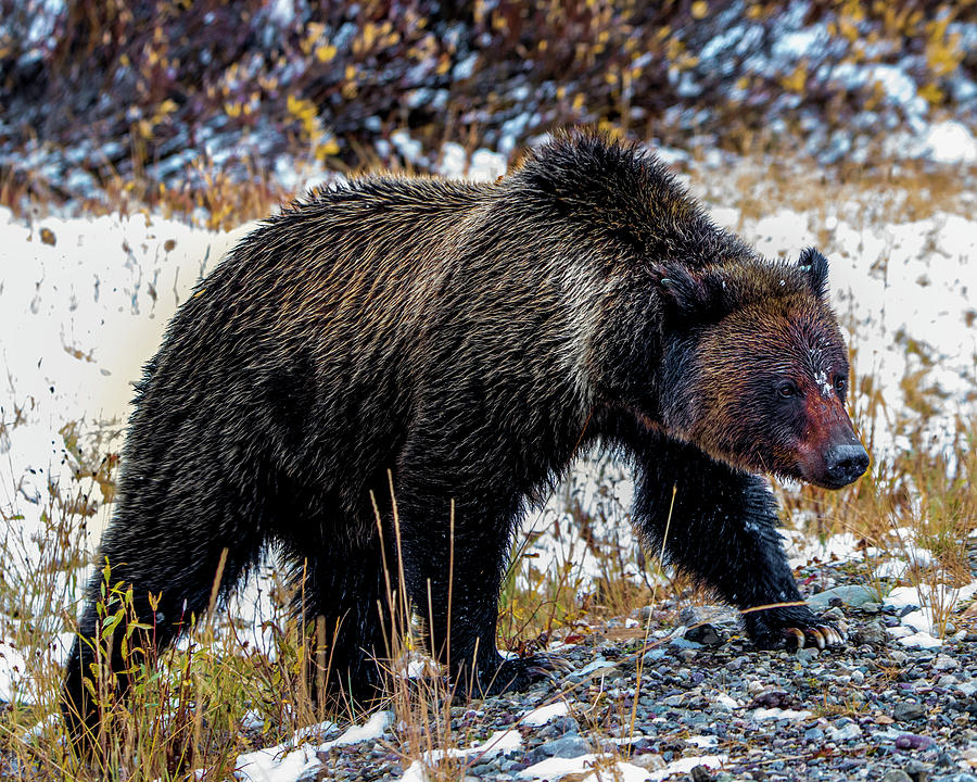Knudsen Photograph - Grizzly Bear by Cameron Knudsen