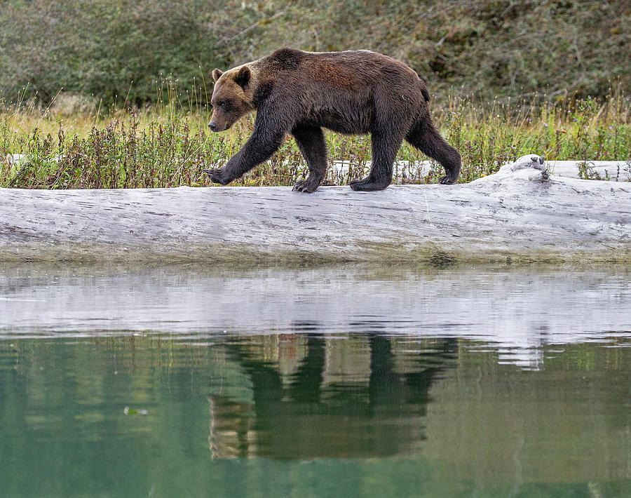 Grizzly Bear Crossing Log by Max Waugh