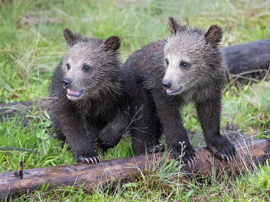 Grizzly Bear Cubs by Max Waugh