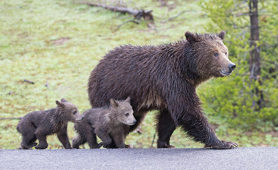 Grizzly Bear Family Crossing Road by Max Waugh