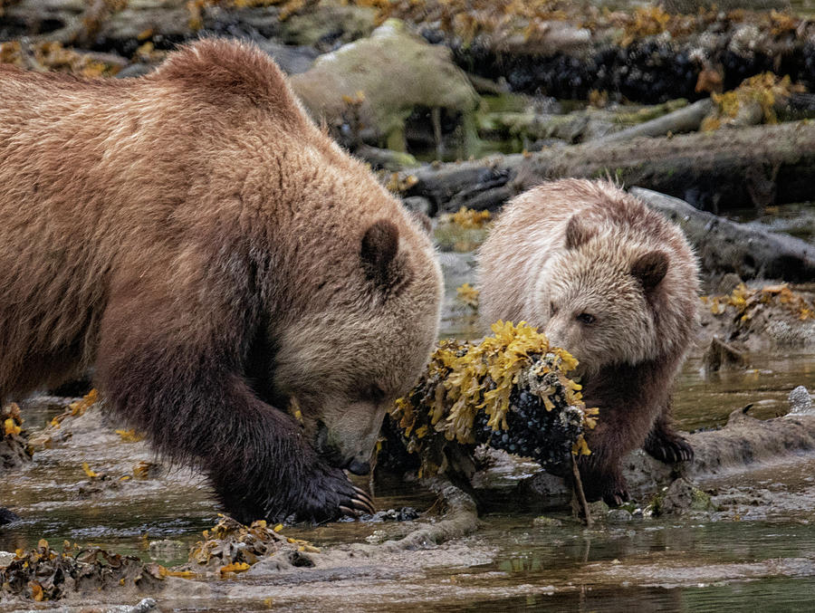 Grizzly Lunch Photograph