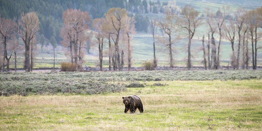 Grizzly on the Valley Floor by Max Waugh