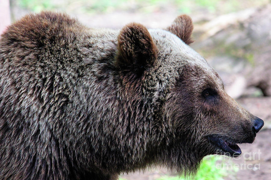 Grizzly Profile Photograph
