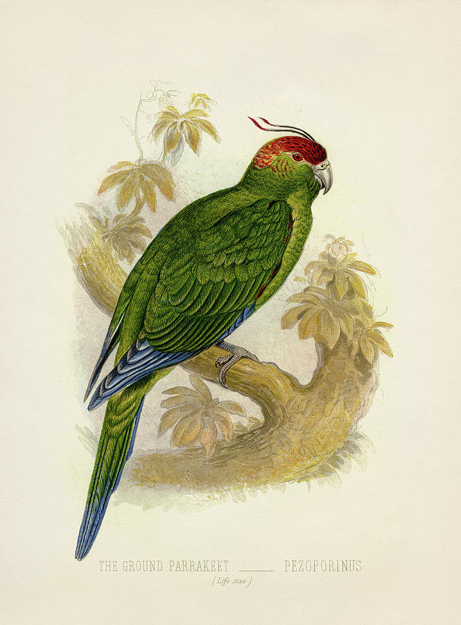 Ground Painting - Ground Parakeet - Pezoporinus wallicus wallicus by Hakon Soreide