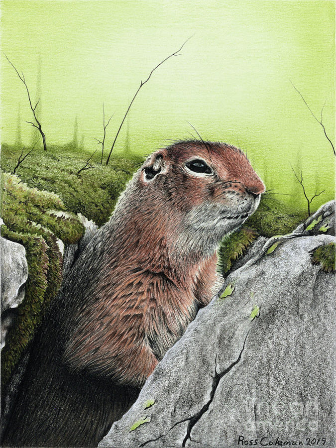 Ground Squirrel No.1 Drawing by Ross Coleman