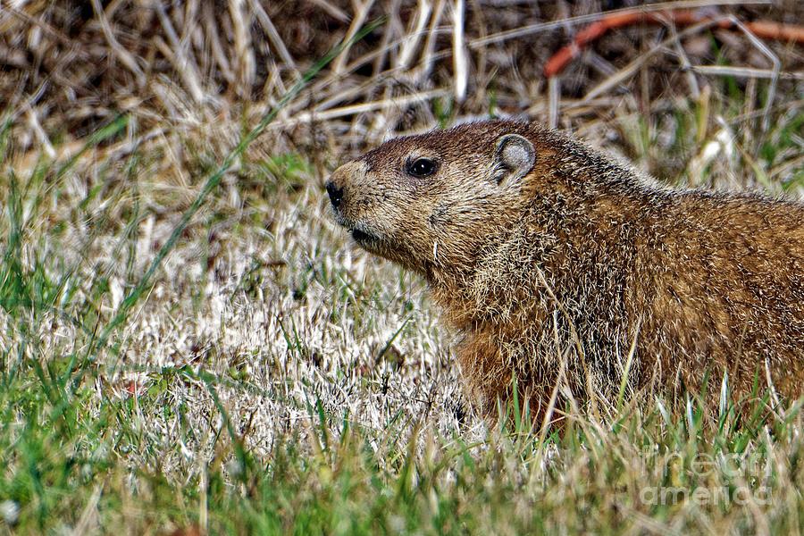 Groundhog Photograph