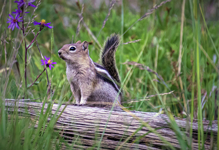 Chipmunk Photograph - Guardian of the Gate by Laura Terriere