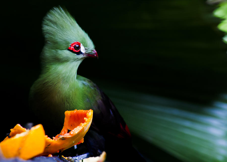 Guinea Turaco Photograph by Joemill Veloso Flordelis