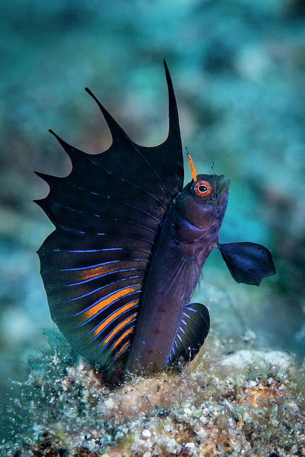 Gulf Signal Blenny Photograph