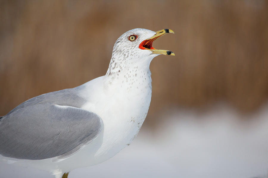Gull Calling Out Photograph