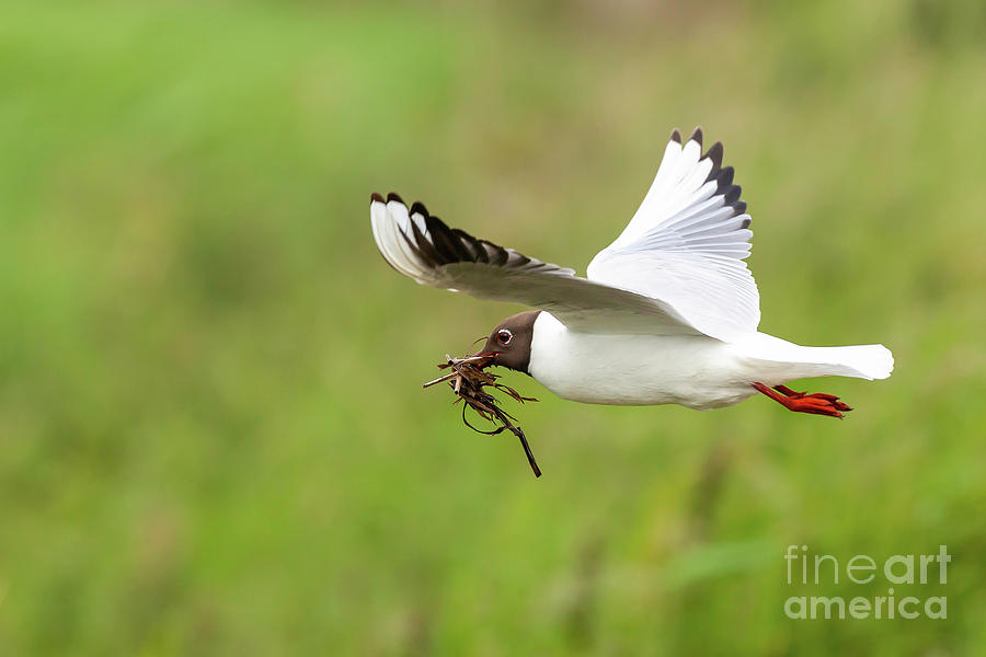 Gull flying with nesting material by Simon Bratt Photography LRPS