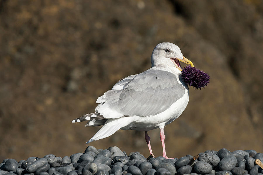 Gull With Purple Sea Urchin by Robert Potts