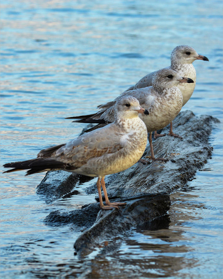 Gulls in a Row by Dave Hilbert