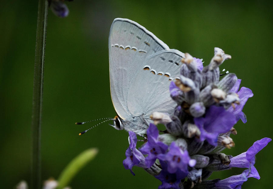Butterfly Photograph - Hairstreak Butterfly 2 by Morgan Wright