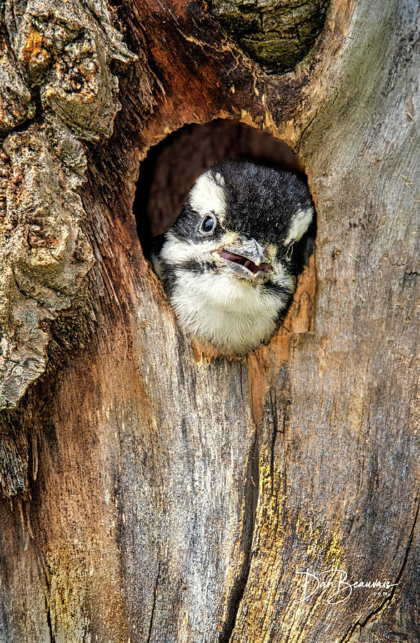 Hairy Woodpecker Chick 4796 Photograph