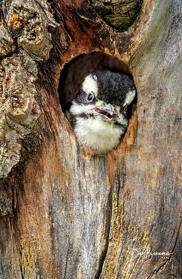 Woodpecker Photograph - Hairy Woodpecker Chick 4796 by Dan Beauvais
