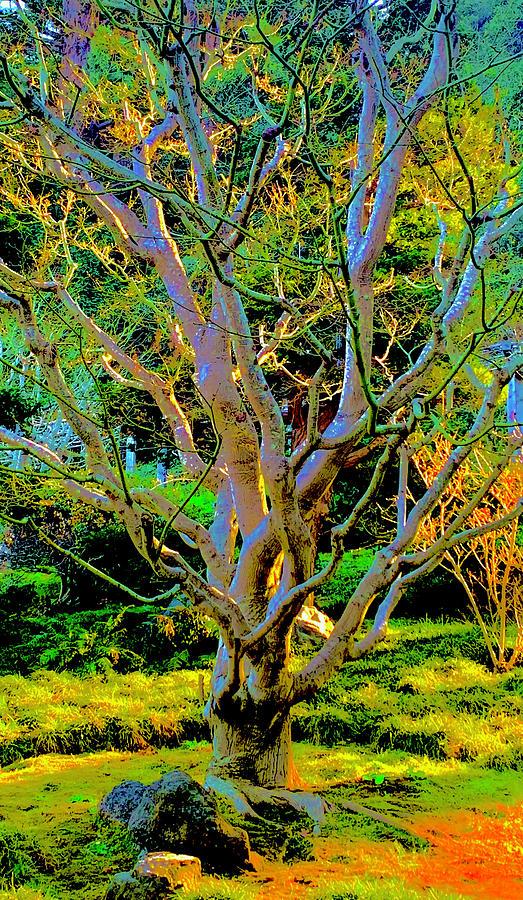 Hakone Sycamore Photograph
