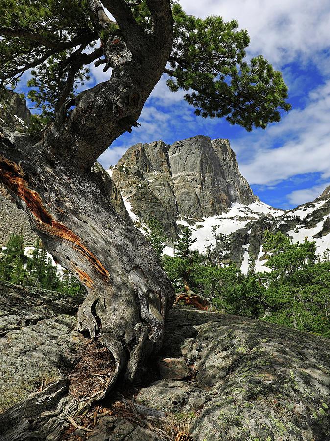Hallett Peak Tree Photograph