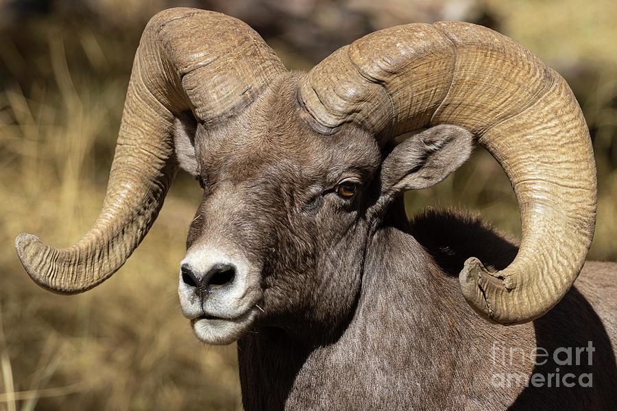 Handsome Bighorn Ram Photograph